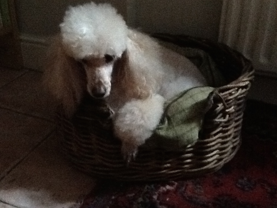 Image Result For Dog Very Lethargic